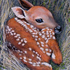 """New Born Fawn"" (acrylic on canvas) by Charles Wallis"