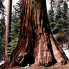 """Redwood Baby"" (photography) by Walt Hug"