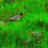 Pheasant Under Grass
