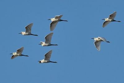 Snow Egrets