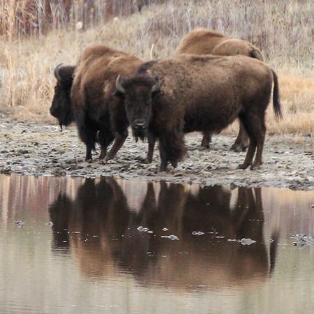 New Bison calves April 2, 2016