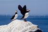 The Atlantic Puffin and Machias Seal Island, New Brunswick, Canada.