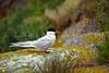 An arctic tern on Machias Seal Island, New Brunswick, Canada.