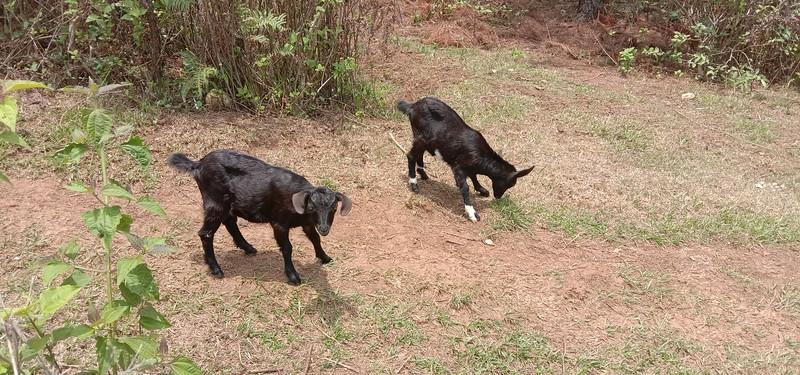 Cut baby goats