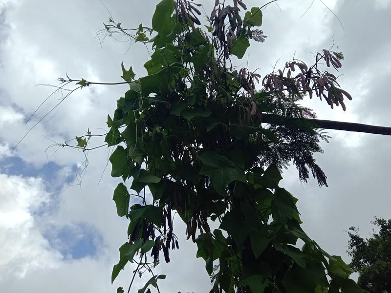 Sayote climbing up the IPIL IPIL tree