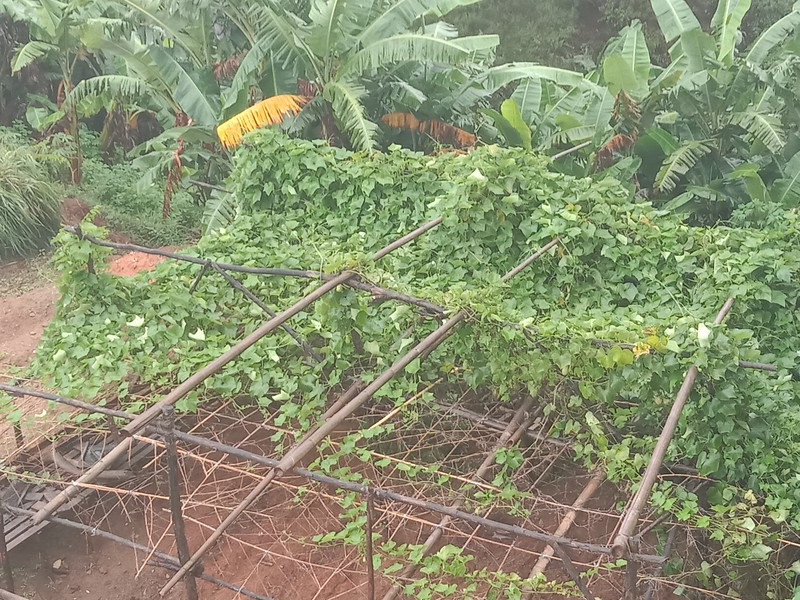 CHAYOTE nearly completely covering the trellis. There are over 100 fruits ready to pick and more coming!