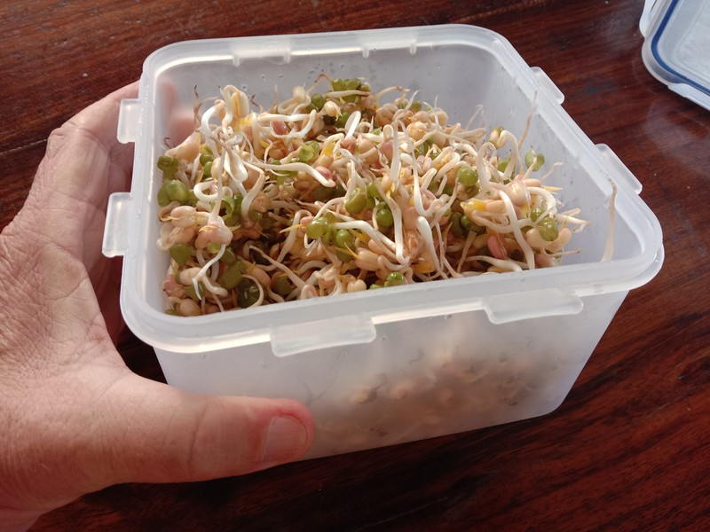 FOUR CUPS OF SPROUTS from 3 tablespoons of dried mung bean seeds. Ready to eat after 3 days