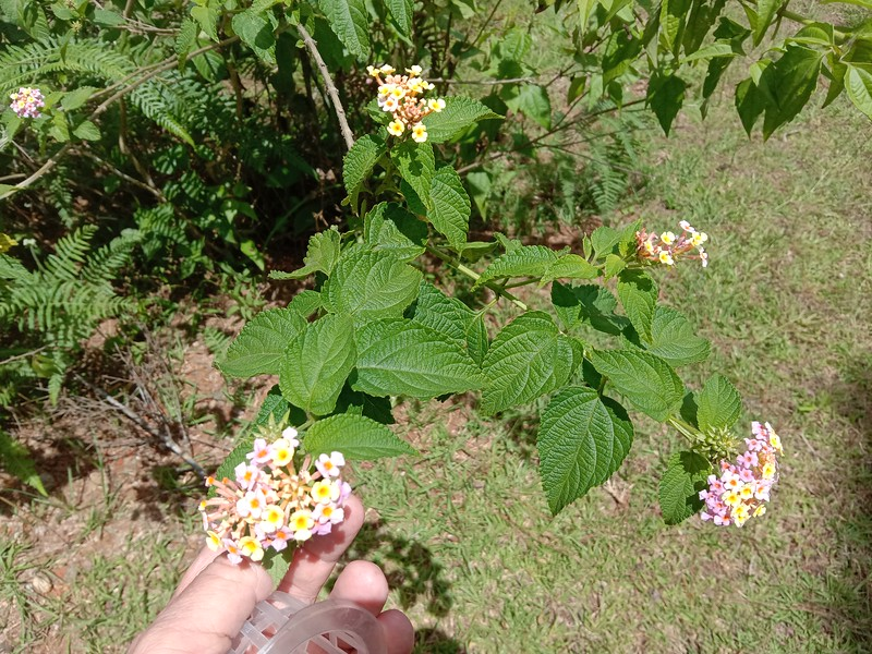 LANTANA, beautiful flowers and an excellent small tree to prevent soil erosion