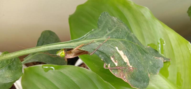 Mr. Mantis