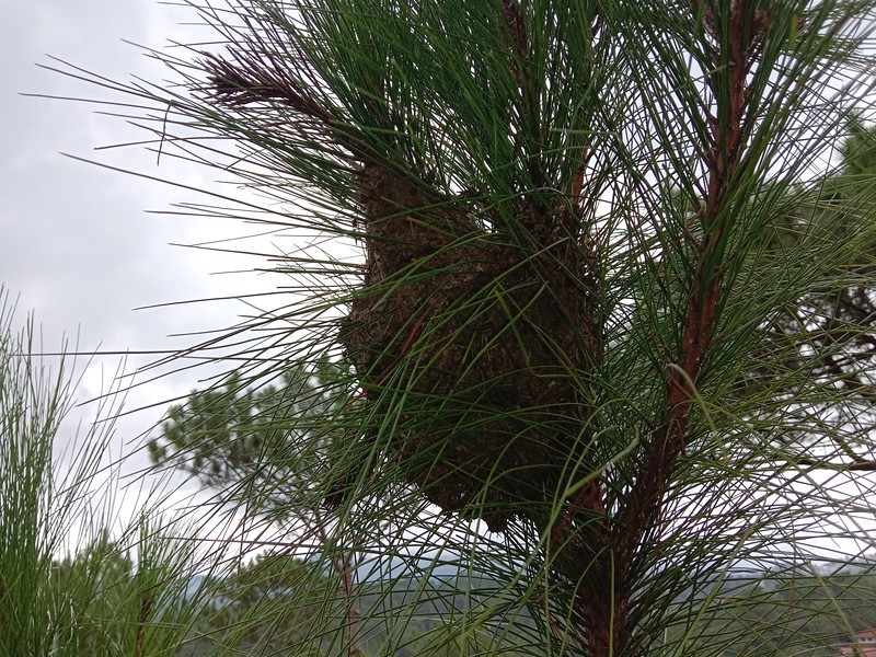 A birds nest in the pine tree