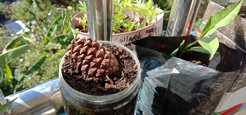 Pine tree seeds take MONTHS to germinate! FINALLY!