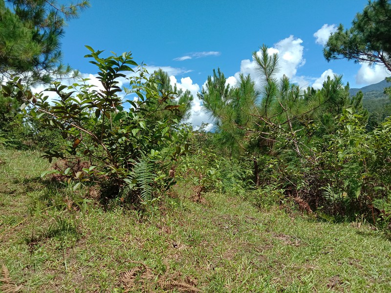 Pine tree and Guava growing side by side