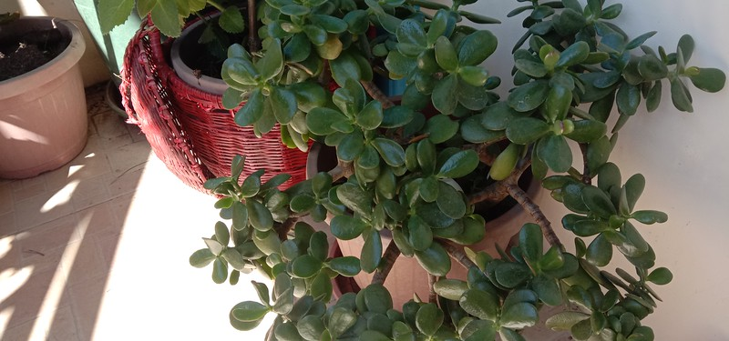 I have several jade plants. very easy to take care