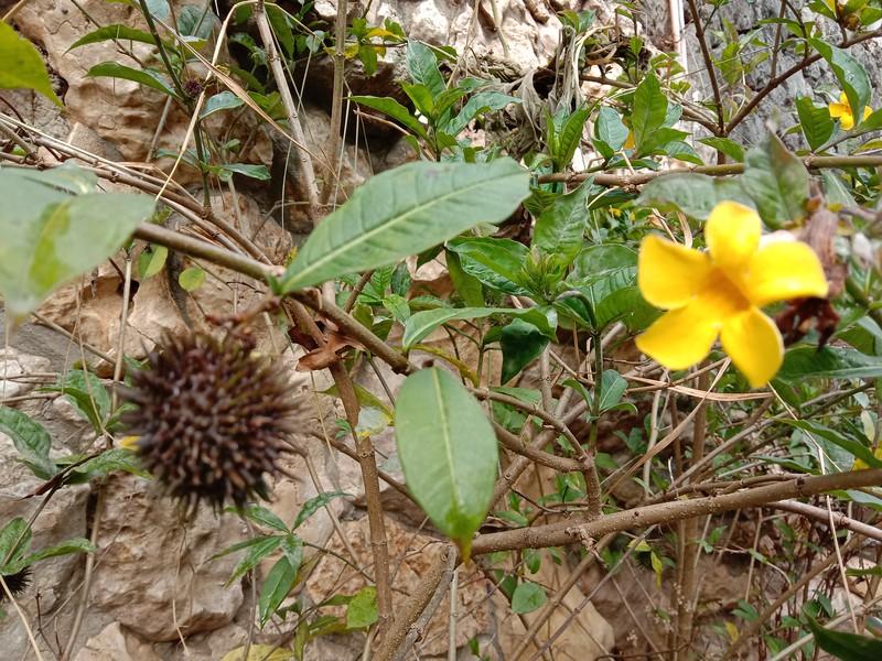 Yellow allamanda Allamanda schottii Pohl BUSH ALLAMANDA Huang ying