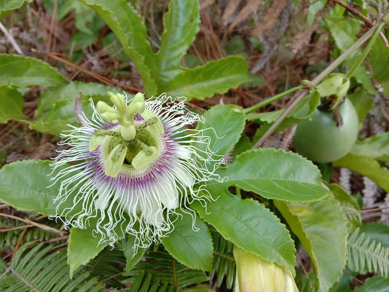 Passion fruit blossoms and ripening fruit
