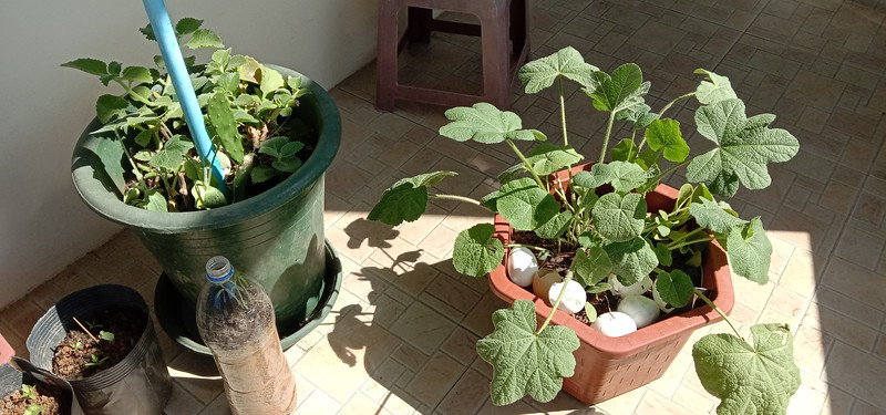 Hollyhock on the right and winter squash and cactus on the left