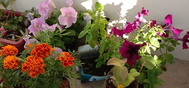 Marigold, Oregano, Petunia, Basil  ready for transplanting