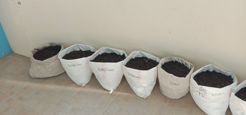 rice bags planted with carrots and radish. 130+ carrots in 70 days or less
