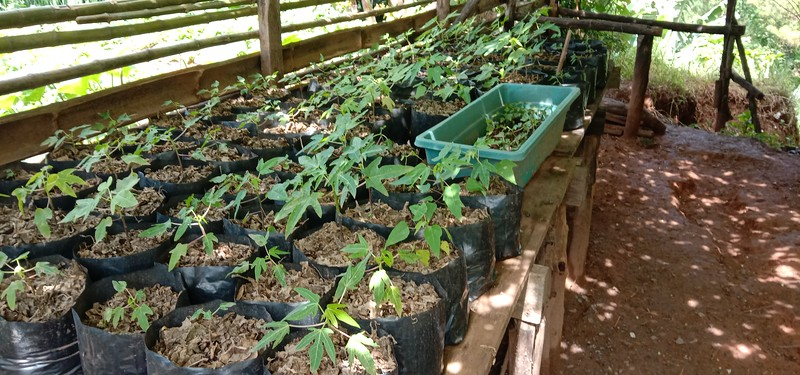 Papaya seedlings