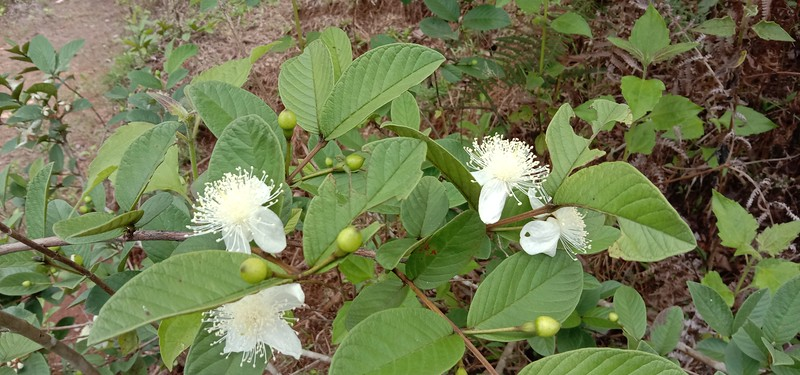 Guava is blooming all over the property