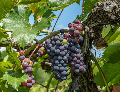 Marquette grapes at the Lincoln Peak Winery, New Haven, VT.