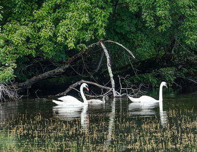 A pair of Mute Swans (Cygnus olor) with their lone cygnet (chick) on Sylvan Lake in the Town of Beekman, Duchess County, New York.  Mute swans are native to much of Eurasia.  They were introduced to North America in the late 1800's with problematic populations now centered in Long Island and New York's lower Hudson Valley.  Mute swans are so called given that they are less vocal than other swan species.