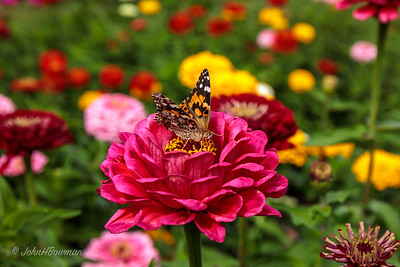 Shelburne Museum - Zinnia & Butterfly at Owl Cottage