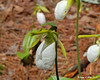 White Lady Slipper