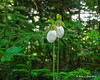 A pair of White Lady's Slippers next to the trail