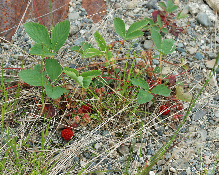 Many hikers look forward to wild blueberries on the trail.  Don't forget that other wild berries can be found