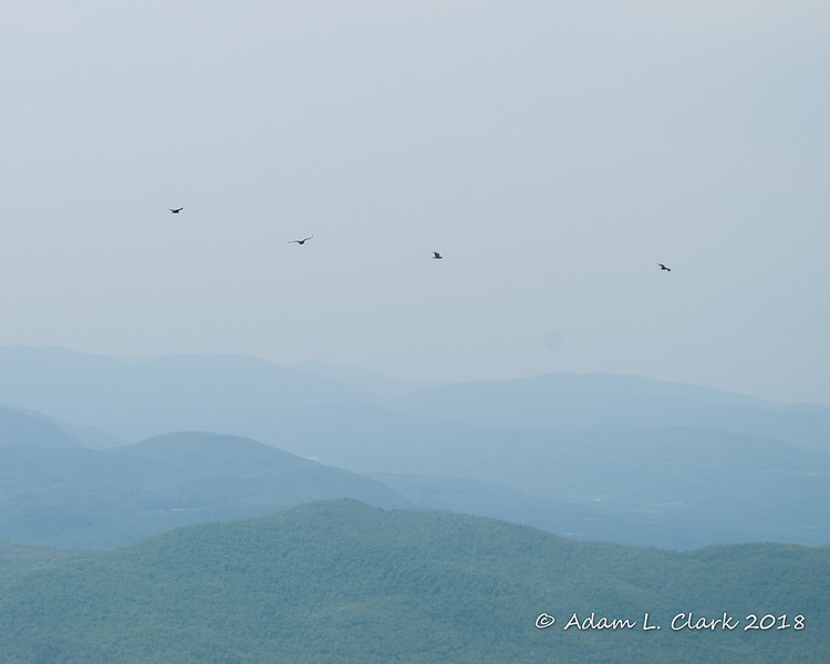 Four of the six turkey vultures