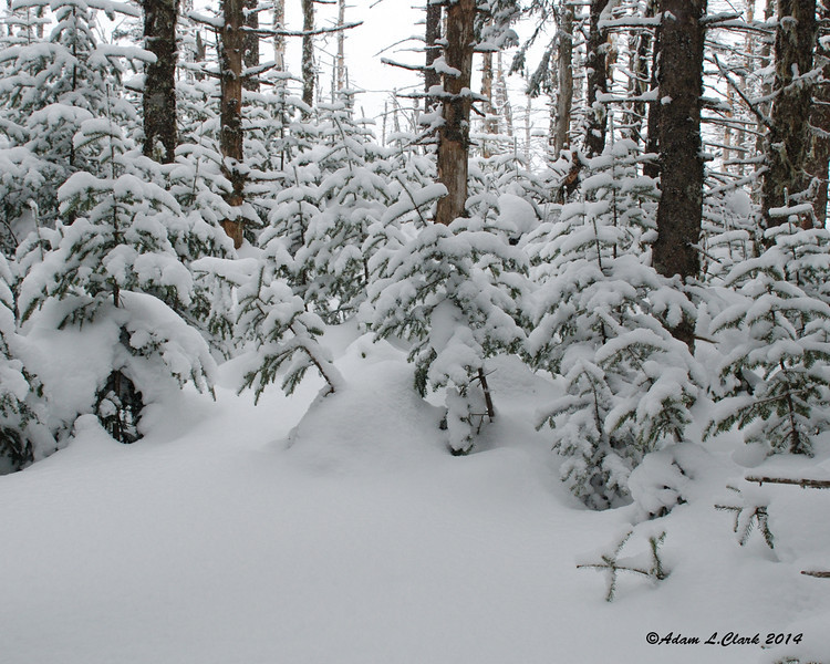 Trees next to the trail with a coating of today's snow on them
