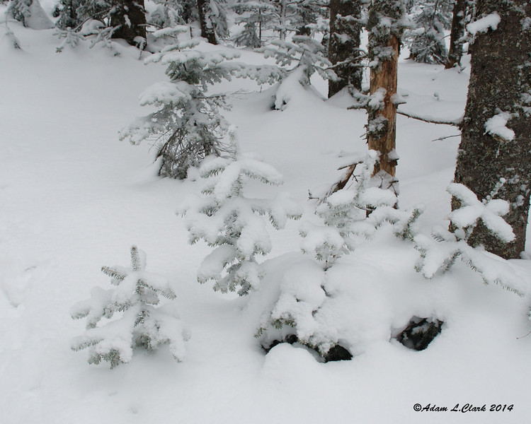 Small trees with fresh snow