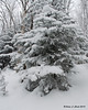 One of the trees next to the trail with a coating of snow that has accumulated so far today