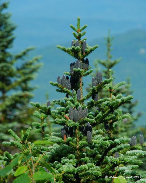 Plenty of spruce cones on this tree