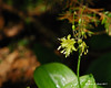 Clintonia (Bluebead Lily) next to the trail