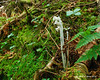 Some of many Indian Pipes next to the trail