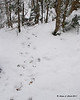A fresh deer crossing with a few sets of tracks across the trail