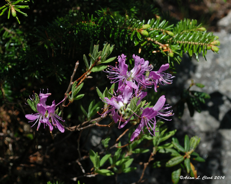I found a small patch of Rhodora next to the trail in the trees