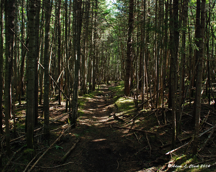 Nearing Eddy Pond, the trail goes through some dense trees.  but the lack of lower limbs makes it still seem pretty open