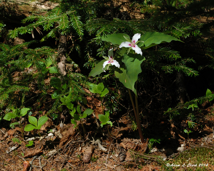Some Painted Trillium along the trail
