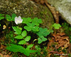 Wood Sorrel in the trail