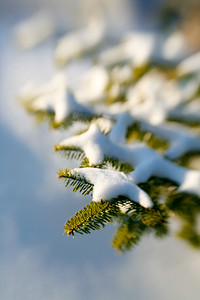 Pine Branch Layered with Snow (3693)