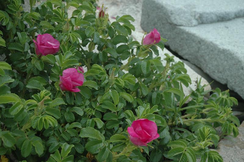 Coastal Roses