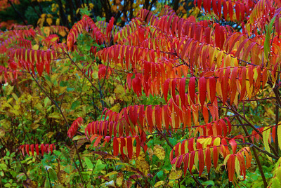Fall Color, Acadia N. P.