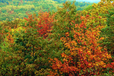 Fall color on the maples, Acadia National Park