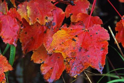 Red leaves, Acadia N. P.