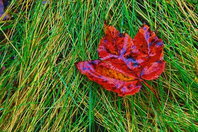 Wet leaf on pine needles, Acadia National Park, Maine