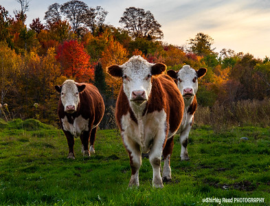 Autumn Cows Vermont