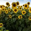 Field of Sunflowers_2038